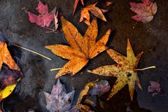 Variety Of Autumn Leaves Floating On Water stock images