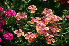 In many colors Nemesia, Sansatia blooms. This flower was named after Nemesis, the Greek goddess of retribution