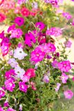Many colors of petunia. Flower bed Stock Image