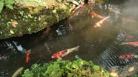 Many coloured carp fish swim in the water, with moss, ferns and flowers throughout the riverbank