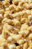 Many coloured newborn ducklings Royalty Free Stock Photography