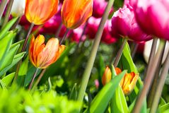 Many coloured tulips v3 Royalty Free Stock Photo