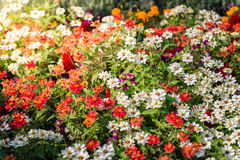 Many colourful daisies Stock Image