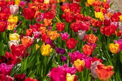 Some  colourful tulips stand on a tulip field stock photo