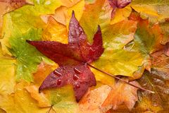 Many colourful, wet autumn leaves royalty free stock photography
