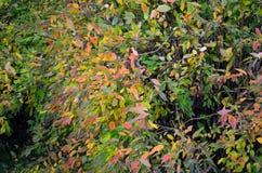 Many colours on bush in autumn Stock Photos