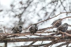 Many common european starling birds on grape vine while snowfall. Difficult weather conditions of early spring. Shallow depth of field, toned photo Stock Images
