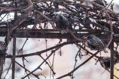 Many common european starling birds on grape vine while snowfall. Difficult weather conditions of early spring. Shallow depth of field, toned photo Stock Image