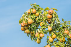 Many common pears at a branch against the bluw sky Royalty Free Stock Photography