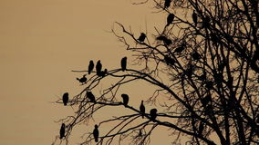 Many cormorants stock video footage