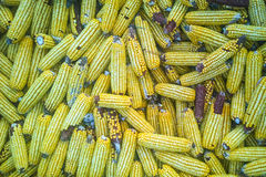 Many corn cobs accumulated.  Royalty Free Stock Images