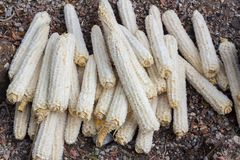Many corn cobs on the ground used as charcoal for making campfir Royalty Free Stock Photo