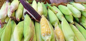 Many corn fields. Multi-colored corn is yellow, violet and three-color corn. stock image