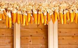 Many corn. Royalty Free Stock Photo