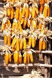 Many corn. Royalty Free Stock Photos