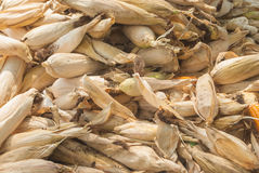 Many corns Stock Photo