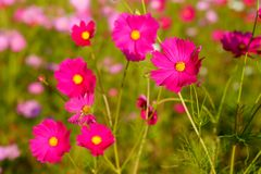 Many of  cosmos flower in garden with soft focus background Stock Image