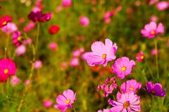 Many of  cosmos flower in garden with soft focus background Royalty Free Stock Image