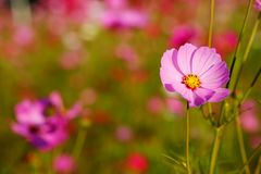 Many of  cosmos flower in garden with soft focus background Stock Images