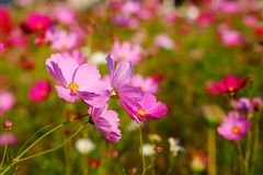 Many of  cosmos flower in garden with soft focus background Royalty Free Stock Images