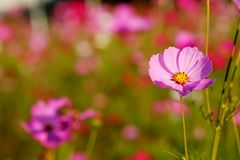 Many of  cosmos flower in garden with soft focus background Royalty Free Stock Photo