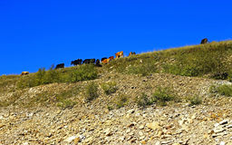 Many cows on the caucasus mountain grassland Stock Photo