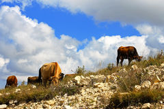 Many cows on the caucasus mountain grassland Royalty Free Stock Image