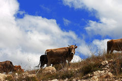 Many cows on the caucasus mountain grassland Royalty Free Stock Images