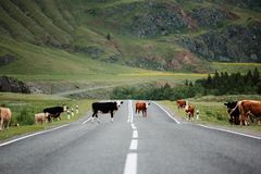 Many cows crossing rural road. Mountains stock image
