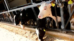 Many cows eat in a stable - stall. Many cows eat in a stable stock video footage