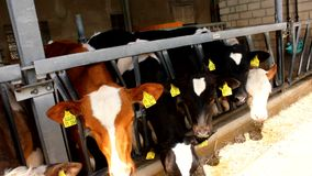Many cows eat in a stable - stall stock video footage