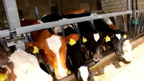 Many cows eat in a stable - stall stock video