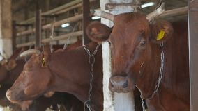 Many cows on the farm animals. Closeup of a cow head. Standing in a stall stock video