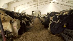 Cows feeding in a dairy farm cowshed
