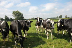 Many cows on a grassfield. Many cows on a grass field Royalty Free Stock Images