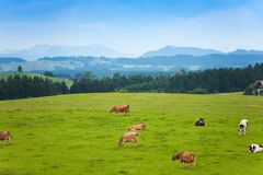 Many cows on the pasture Royalty Free Stock Image