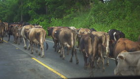 Many cows are on the roadway during a light rain stock footage