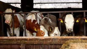Many cows in a stable - stall stock footage