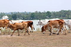 Many cows are walking in farm. Royalty Free Stock Photos