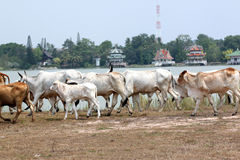 Many cows are walking in farm. Royalty Free Stock Images