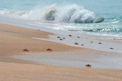 Many crabs on beach Royalty Free Stock Images
