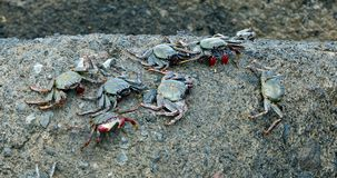 Crabs on the rock. Many crabs on the rock stock video