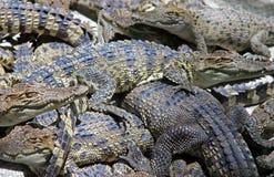 Many crocodiles background Stock Image