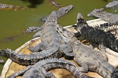 Many crocodiles background Stock Image