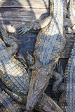 Many crocodiles , large crocodiles, cambodia Royalty Free Stock Photos