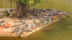 Many crocodiles lie on stone bank of lake in tropical park stock video footage