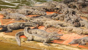 Many crocodiles lie on stone bank of lake in tropical park stock footage