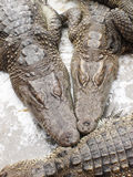 Many crocodiles lie on a stone. In farm Stock Image