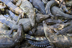 Many Crocodiles Royalty Free Stock Image