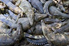 Many Crocodiles Royalty Free Stock Image